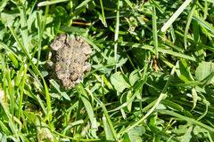 Overhead view of a frog in the grass Royalty Free Stock Photos