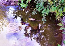 Overhead view of two goldfishes in a garden pond stock images