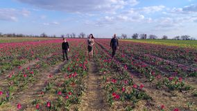 Overhead view of happy family walking toward camera in field of tulips in bloom on background of clear blue sky. Overhead view of happy family walking toward stock footage
