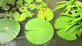 Overhead view of lily pads and vegetation in Asian pondin Asia stock video footage