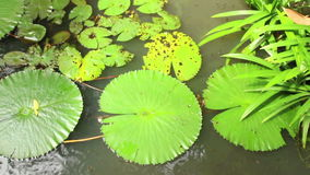 Overhead view of lily pads and vegetation in Asian pondin Asia stock video