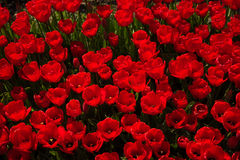 Overhead View of Many Red Tulips Royalty Free Stock Photos