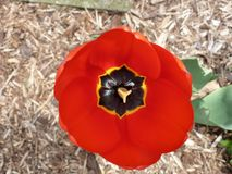 Tulip time. An overhead view of a red tulip with black and yellow, forming the shape of a six-pointed star royalty free stock photo