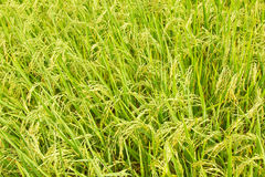 Overhead view of rice paddy crop Stock Photos
