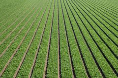 Aerial view of rows of green lettuce forming an abstract pattern of lines moving towards perspective into the distance royalty free stock photos