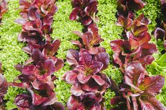 Alternating rows of red leaf and green leaf lettuce in the garden. An overhead view of several rows of red and green lettuce which create a fun alternating stock photography