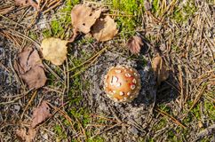 Toadstool on sandy soil. Overhead view of small toadstool on sandy soil surrounded by pine needles royalty free stock photo