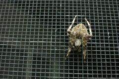 Overhead view of spider on a screen door. Overhead shot of a small, hair spider sitting on a screen door, centered in its web. The background is dark Stock Photo
