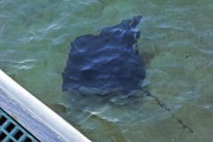 Large Sting-Ray Swimming in one meter of Water Along side a Jetty. Overhead View of Sting Ray, underneath a Jetty, Margaret River, Western Australia. Large stock photos