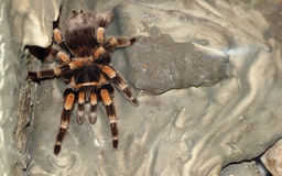 Overhead View Tarantula Spider Stock Photography