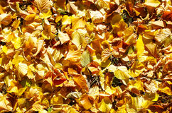 Overhead view vivid autumn leaves on linden trees Royalty Free Stock Images