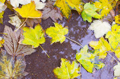 Overhead view of a wet autumn maple leaves closeup Royalty Free Stock Photos