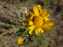Overhead view of wild yellow desert flower. Overhead medium close up of wild yellow desert flower in the mountains of New Mexico Stock Photography