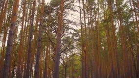 Overhellend schot van somber bos met lange pijnboombomen stock footage