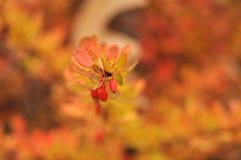 Röda höstbuskar med bär Arkivbild