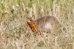 Overladen de Doosschildpad van Oklahoma stock foto's