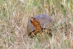 Overladen doosschildpad in gras Royalty-vrije Stock Foto