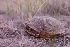 Overladen Doosschildpad (Terrapene-ornata) stock fotografie