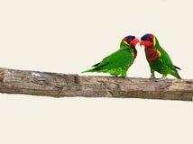 Overladen Loikeet-vogelpapegaai op de tak van boom Stock Fotografie