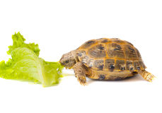 Overland turtle and salad sheet Royalty Free Stock Photo