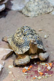 Overland turtle Stock Photos