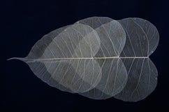 Overlaped three leaf veins texture Stock Image