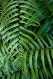 Overlapping fern leaves Royalty Free Stock Photos