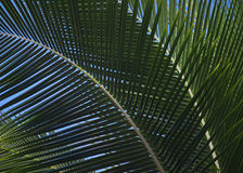 Overlapping Palm Fronds Stock Photography