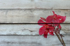 Overlay reddish pink canna lily fower on old wood . Overlay reddish pink canna lily fower with drop of water on old wood Royalty Free Stock Image