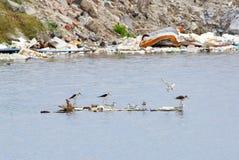 Overleefde vogels die voedsel na tyfoon zoeken Stock Foto's