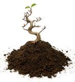 Overlevende bonsaiboom Stock Afbeeldingen
