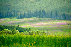 Overlook the epilobium angustifolium and forest Stock Photo