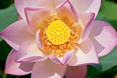 Overlook lotus Stock Photo