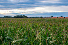 Overlooking cornfield. With nice bly sky Stock Image