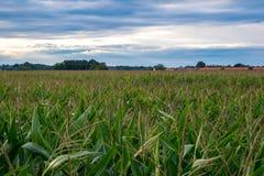 Overlooking cornfield Stock Image