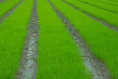 Rice seedlings are row royalty free stock photography