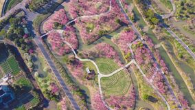Overlooking a large plum blossom forest from the sky
