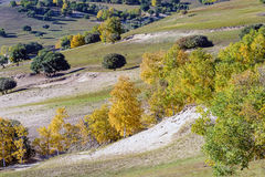 overlooking White Birch on the hillside Stock Photography