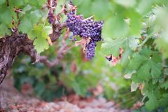 Overmature black grapes Stock Image