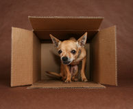 Overnight express. A chihuahua in a mailing box Royalty Free Stock Images
