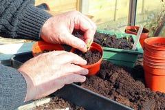 Overplantende jonge zaailingen Stock Foto's