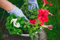Overplanting van bloemen Het tuinieren bij de vrije tijd royalty-vrije stock foto