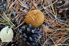 Overrijpe puffballpaddestoel in het bos met denneappels Royalty-vrije Stock Fotografie