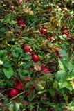 Overrijpe rode appelen die op de grond liggen stock afbeeldingen