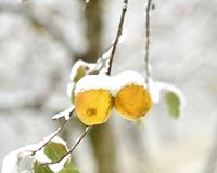 overripe apples covered with snow stock photos