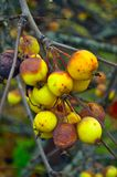 Overripe Autumn Apples stock image