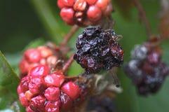 Overripe blackberries Royalty Free Stock Photography
