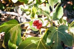 Overripe fig on tree. Royalty Free Stock Photo