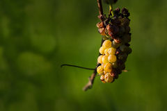Overripe grape Royalty Free Stock Photos