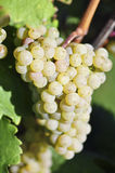 Overripe grapes Royalty Free Stock Image